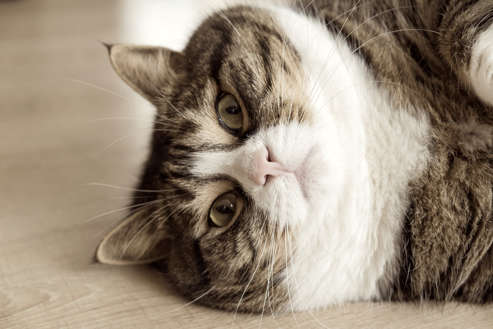 肥満予防!猫ちゃんの体重管理・ダイエットの基本とは?