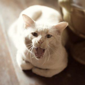 猫ちゃんが鳴くホントの理由とは?