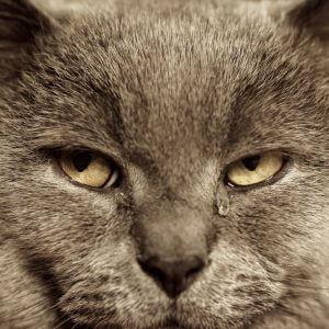 猫の涙の理由とは?考えられる原因や病気と対処法を知ろう!