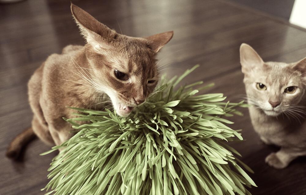 猫草を食べる理由