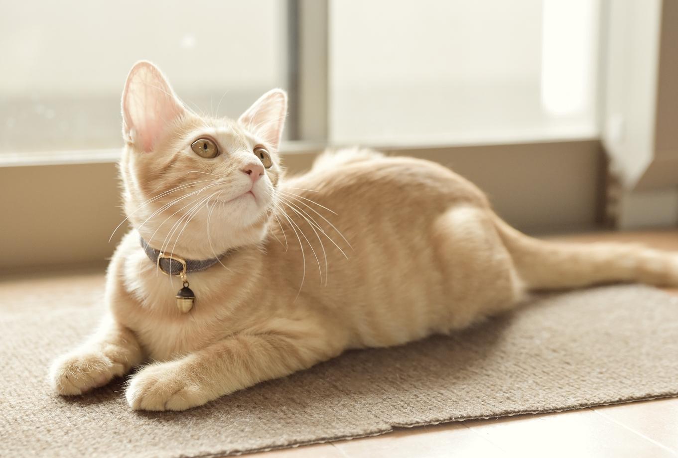 猫首輪を嫌がる!嫌がっても猫首輪が必要な理由と慣らし方