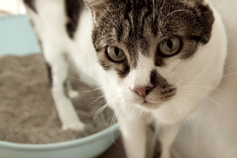 猫のトイレのしつけの成功術! トイレの置き場所や数、システムトイレ、猫砂の選び方とは?
