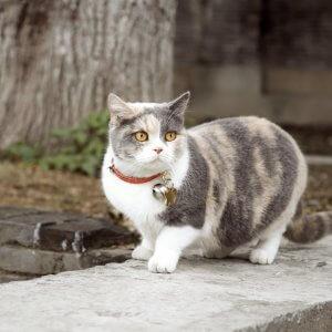 猫首輪を着けるメリット・デメリットを詳しく解説!室内飼い猫に猫首輪は必要?