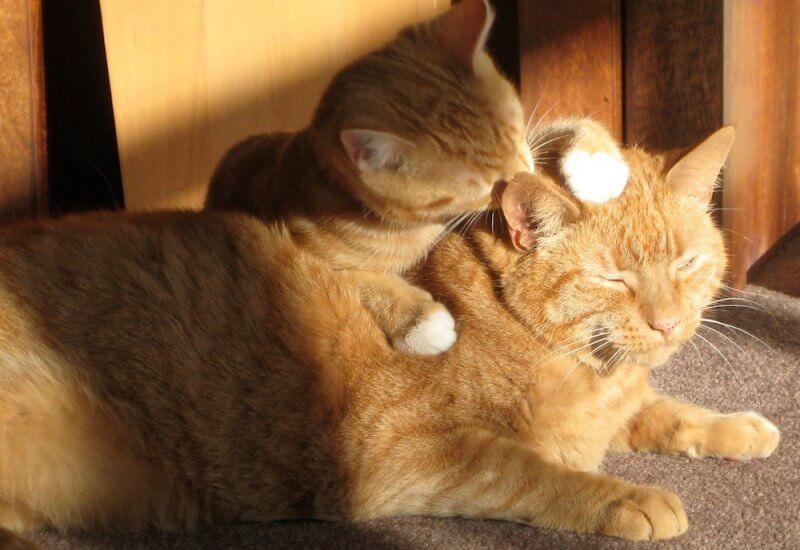 猫の舐め壊し防止!舐め過ぎ、過剰グルーミングで猫がハゲてしまう前の対策を徹底解説